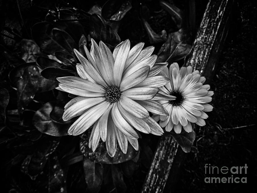 Landscape Photograph - Twin Flowers And A Branch  by Chris Berry