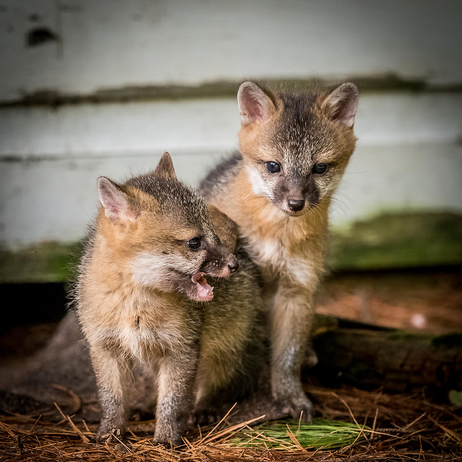 Fox Photograph - Twin Fox Kits by Paul Freidlund