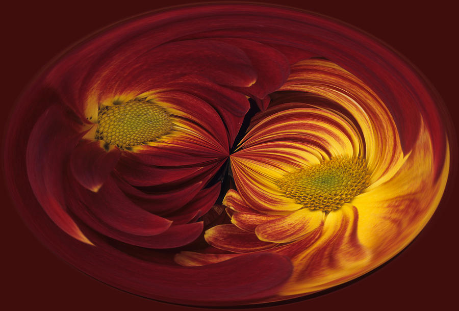 Abstract Photograph - Twin Gerbera Abstract by Keith Gondron