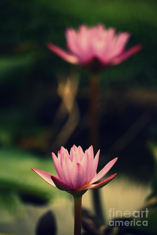 Lotus Photograph - Twin Souls by Vishakha Bhagat