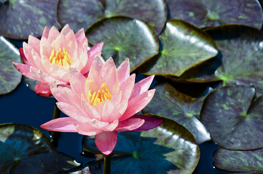 Two Pink Waterlilies Photograph