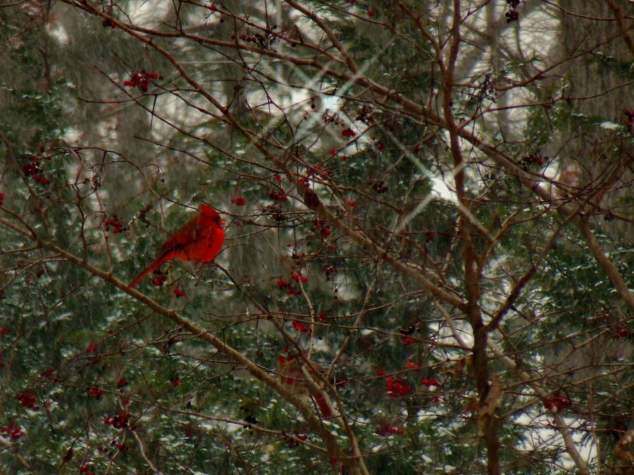 Cardinal Photograph - Twinkle Twinkle Little Bird by Sharon Costa