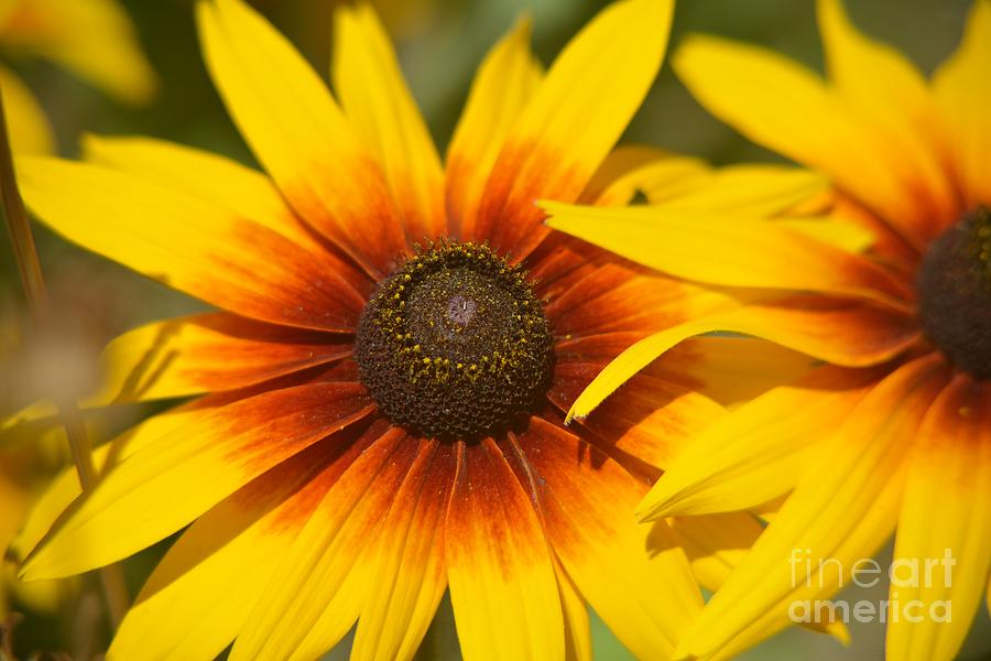 Sunflowers Photograph - Twins by Beth Sanders