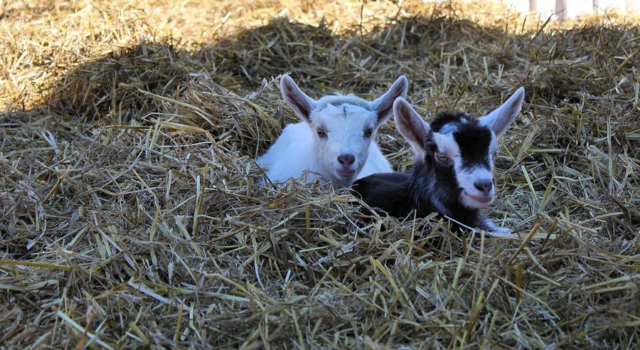 Goat Photograph - Twins by Carolyn Ricks