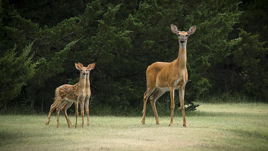 Deer Photograph - Twins by Garett Gabriel