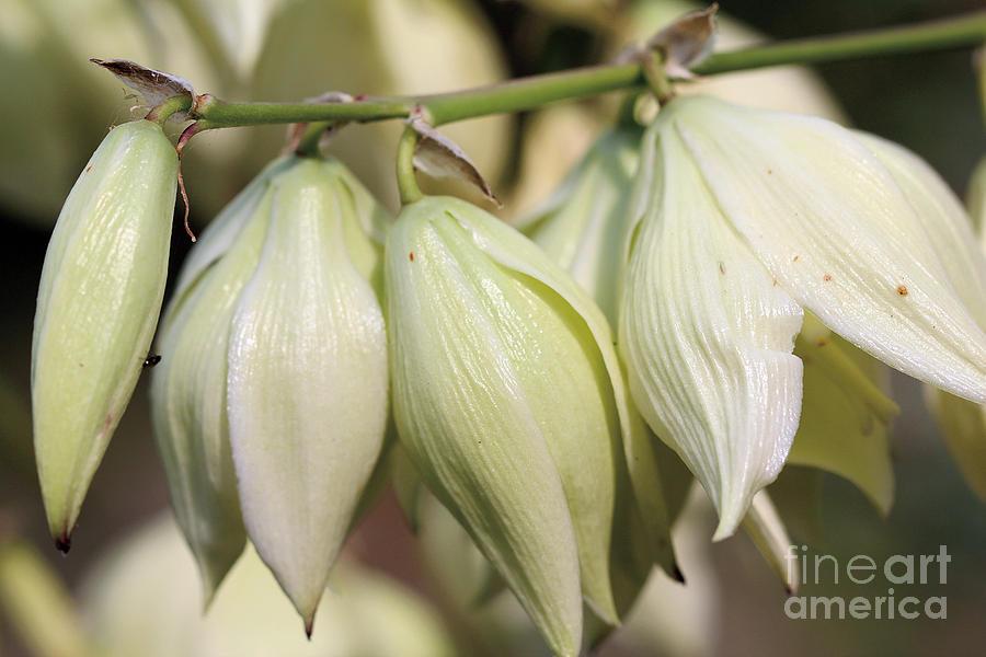 Twist-Leaf Yucca by Susan Schroeder
