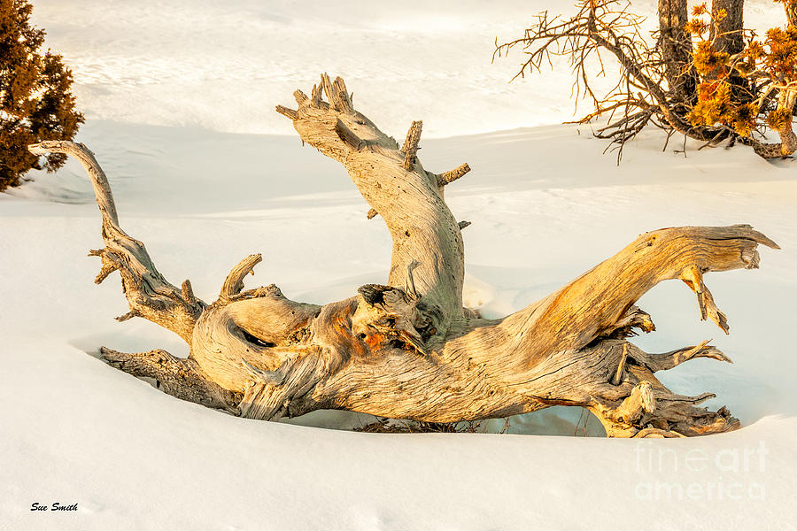 Beauty Photograph - Twisted Dead Tree by Sue Smith