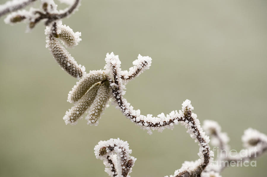 Anne Photograph - Twisted Frost by Anne Gilbert