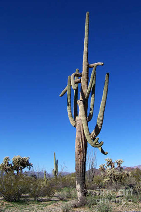 Sahuaro Photograph - Twisted Sentinal by Kathy McClure