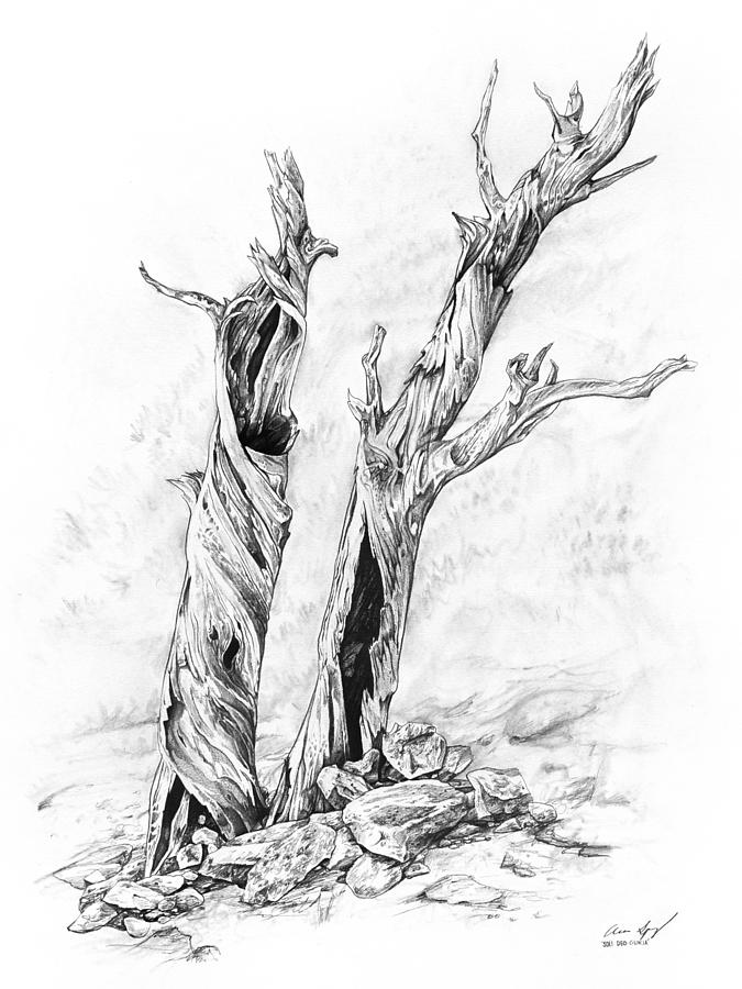 Pine Drawing - Twisted trees by Aaron Spong