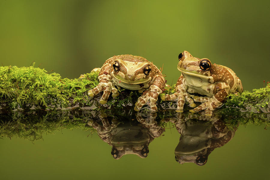 Two Amazon Milk Frogs Photograph by Markbridger