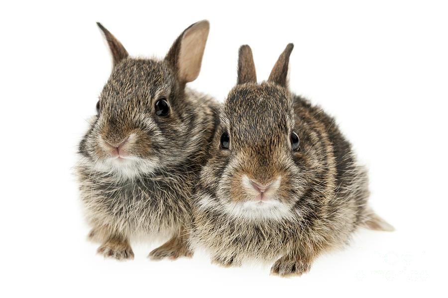 Rabbits Photograph - Two Baby Bunny Rabbits by Elena Elisseeva