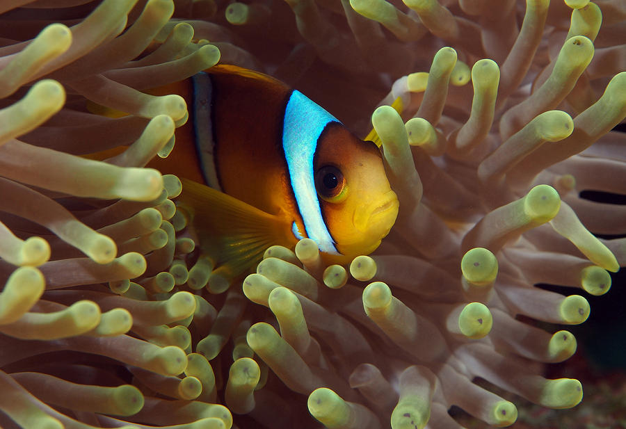 Two-banded Anemonefish Red Sea Egypt Photograph by Eric Gibcus