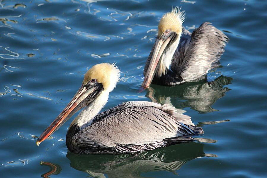 Pelican Photograph - Two Beautiful Pelicans by Cynthia Guinn