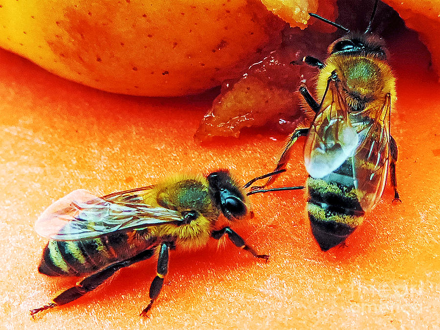 2013 Photograph - Two Bees by Elvira Ladocki