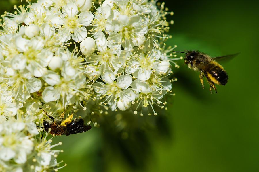 Animal Photograph - Two Bees On A Rowan Truss - Featured 3 by Alexander Senin