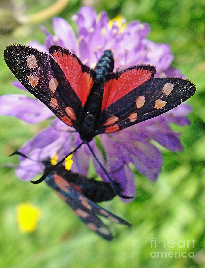Butterfly Photograph - Two Black And Red Butterflies by Karin Ravasio