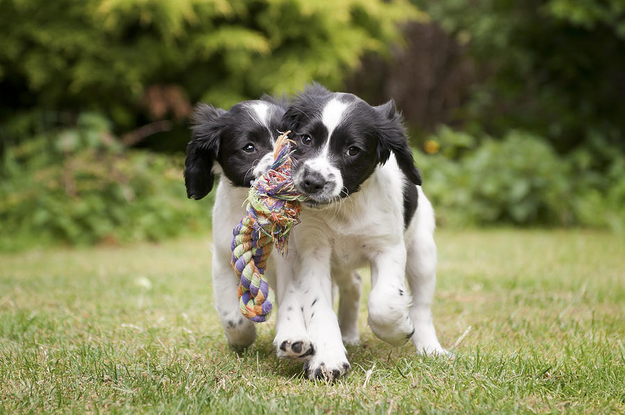Two black and white puppies working as a team to carry rope Photograph by Dageldog