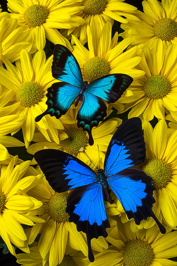 Two Photograph - Two Blue Butterflies by Garry Gay