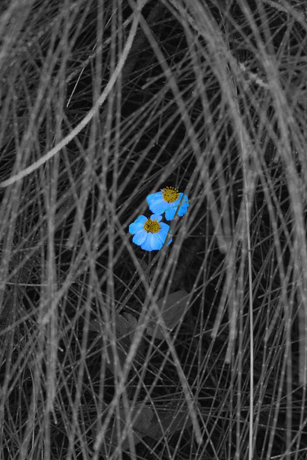 Flower Photograph - Two Blue by Douglas Barnard