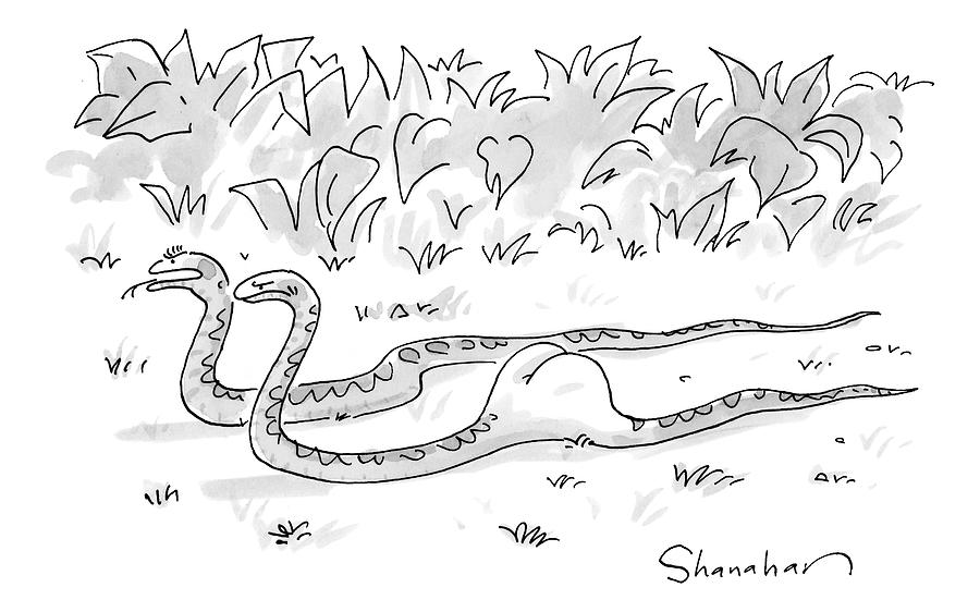 Two Boa Constrictors Slither Along. One Has Eaten Drawing by Danny Shanahan