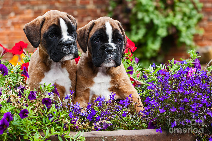 Two Boxer Dog Puppies In Flowers Photograph By Doreen Zorn