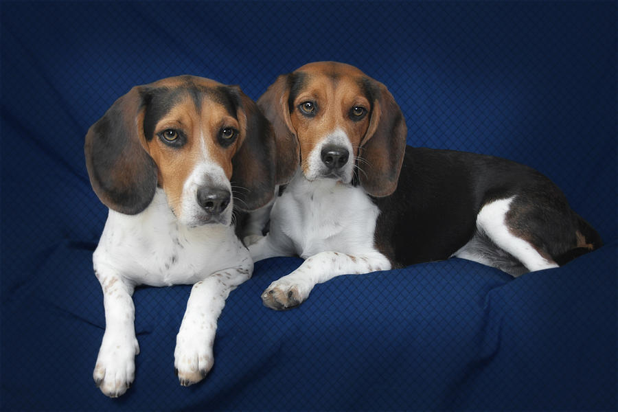 Beagles Photograph - Two Brothers by Christine Till
