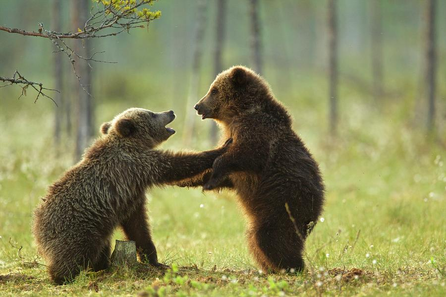 Two Brown Bear Cubs Play Fighting Ursus Photograph by David Fettes