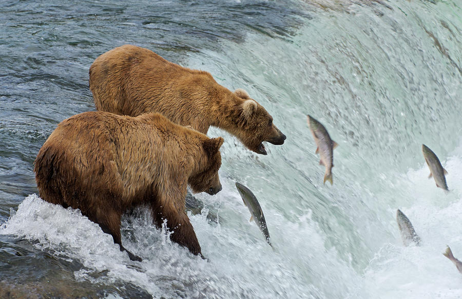 Two Brown Bears Catching Salmon At Photograph by Keren Su