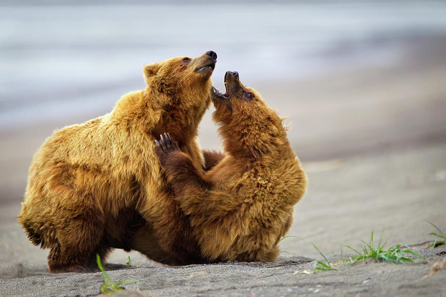 Two Brown Bears Fighting On A Beach At Photograph by Richard Wear / Design Pics
