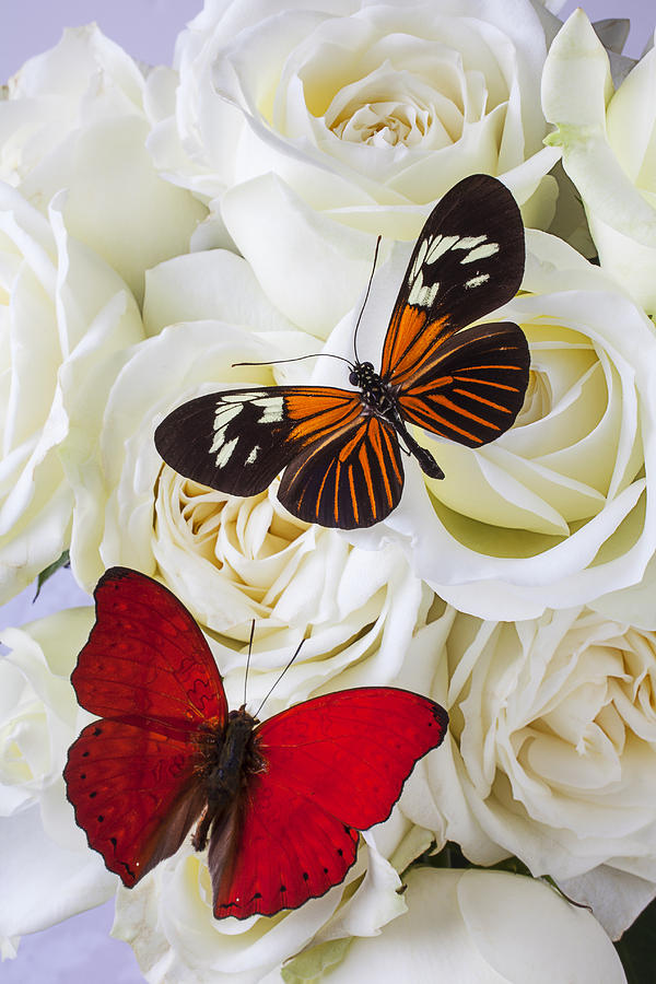 White Photograph - Two Butterflies On White Roses by Garry Gay