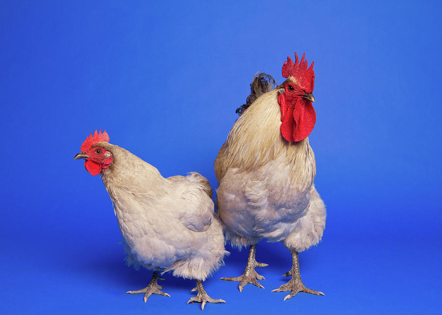 Two Chickens Photograph by Square Dog Photography