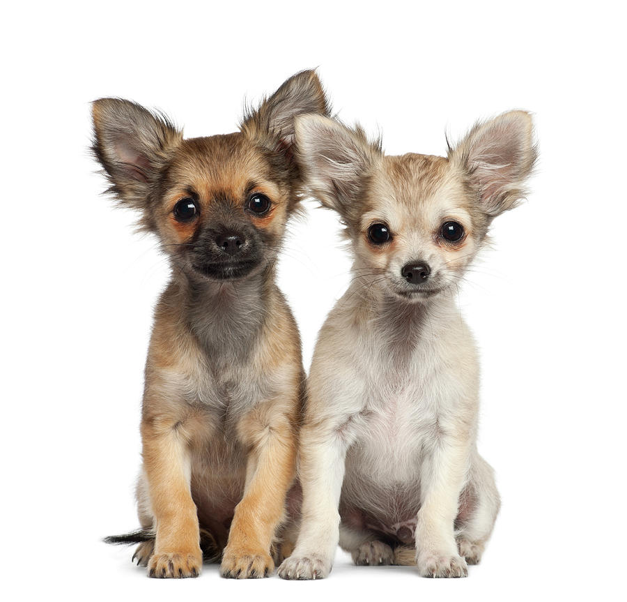 Two Chihuahua Puppies Sitting 3 Months Photograph by Life On White