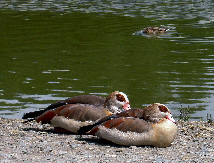 Two Ducks Photograph
