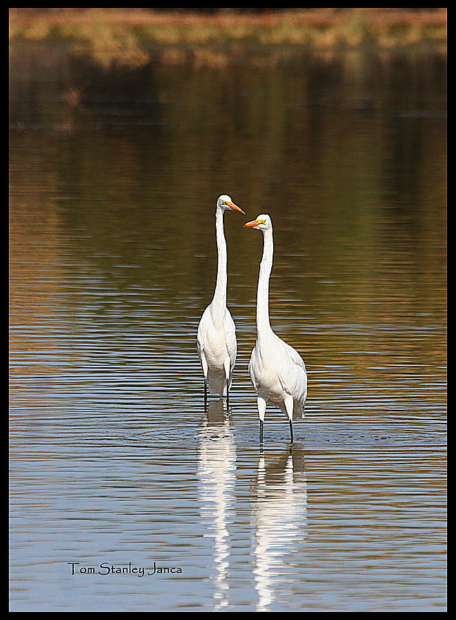 Grp Photograph - Two Egrets In The Pond by Tom Janca
