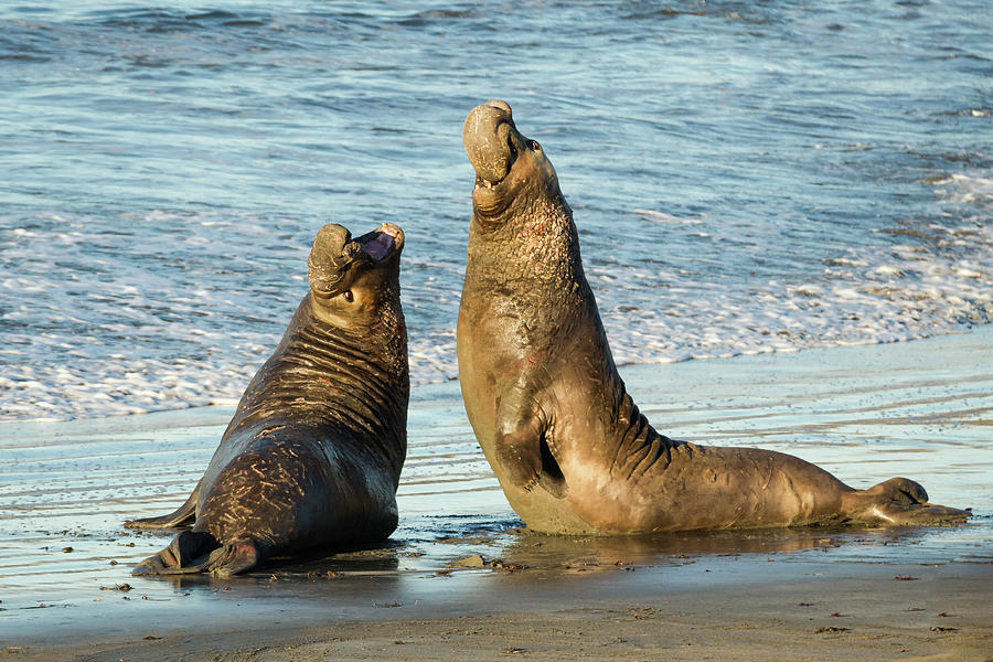 Two Elephant Seal Bulls Fighting On The Photograph by Alice Cahill