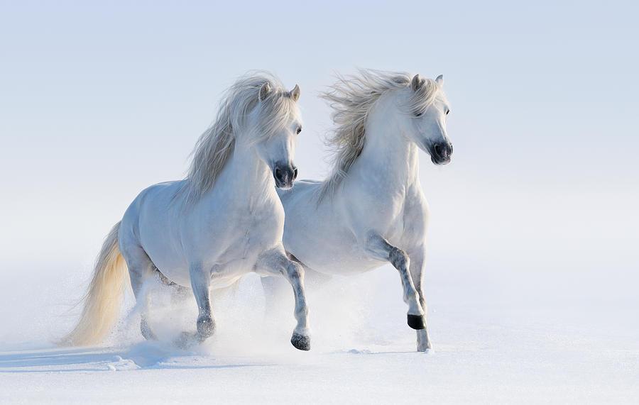 Two Galloping Snow-white Horses Photograph by Abramova_Kseniya