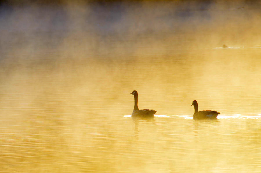 Geese Photograph - Two Geese by Tommytechno Sweden