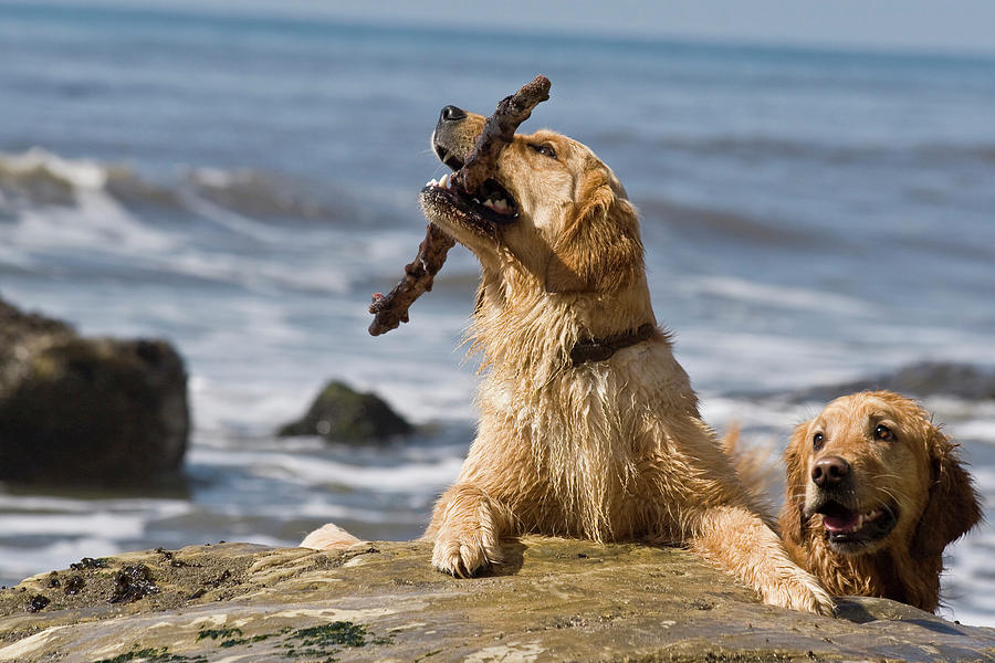 Action Photograph - Two Golden Retrievers Playing by Zandria Muench Beraldo