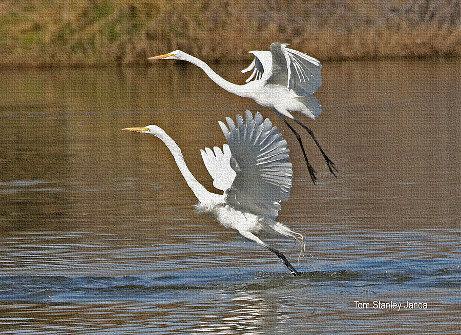 Grp Photograph - Two Greater Egrets  by Tom Janca