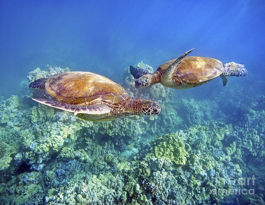 Beautiful Photograph - Two Green Turtles by M Swiet Productions