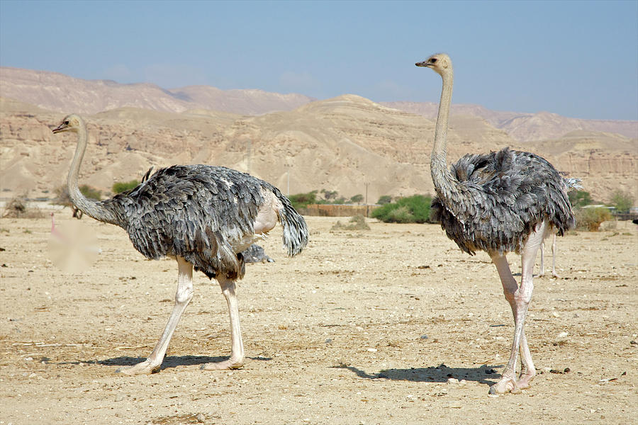 Two Grey Ostriches Moving Along In Photograph by Barry Winiker