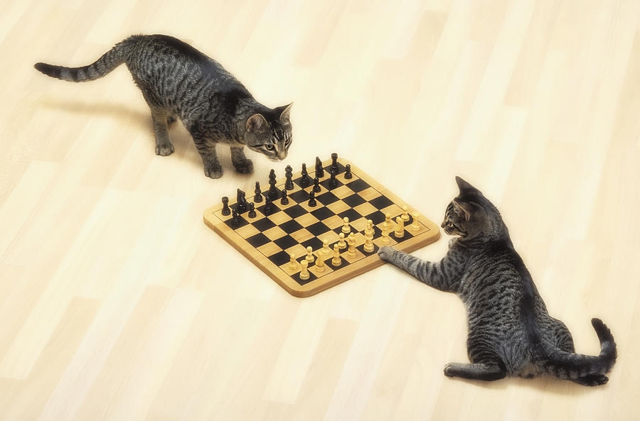 Competition Photograph - Two Grey Tabby Cats Playing by Thomas Kitchin & Victoria Hurst