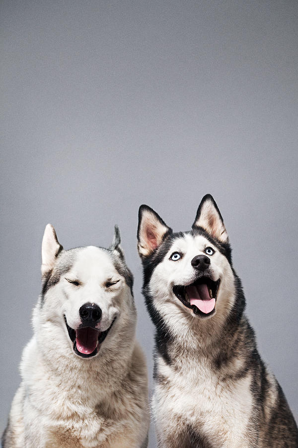 Two Happy Husky Dogs Photograph by Ilka & Franz
