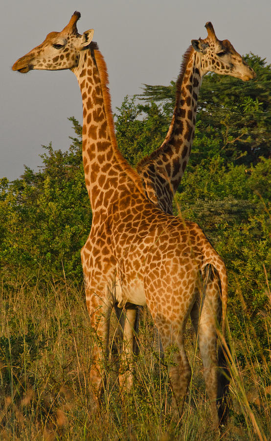 Giraffe Photograph - Two Heads Are Better Than One by Aaron Bedell