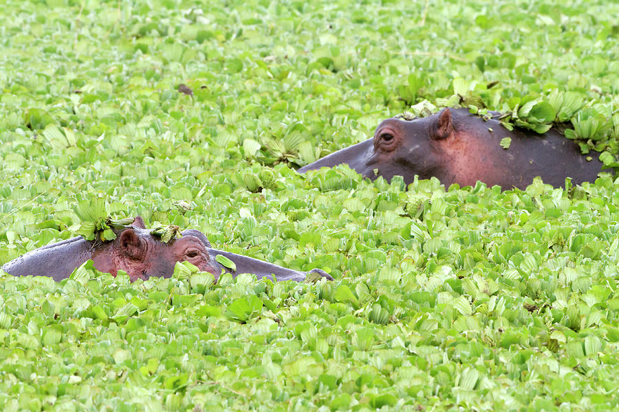 Two Hippos In A Pond, Masai Mara Photograph by Angelika