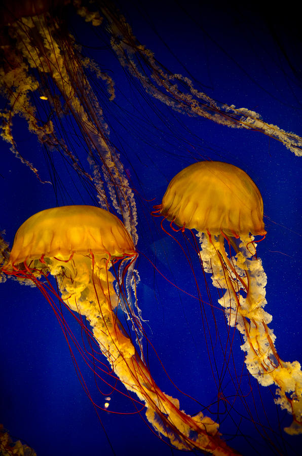 Sea Creatures Photograph - Two Jellyfish by Jessica Berlin