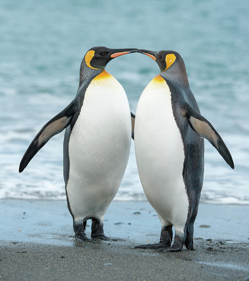 Two King Penguins On A Beach In South Photograph by Elmvilla