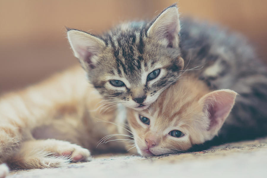 Two Kittens Looking At The Camera Photograph by Harpazo hope