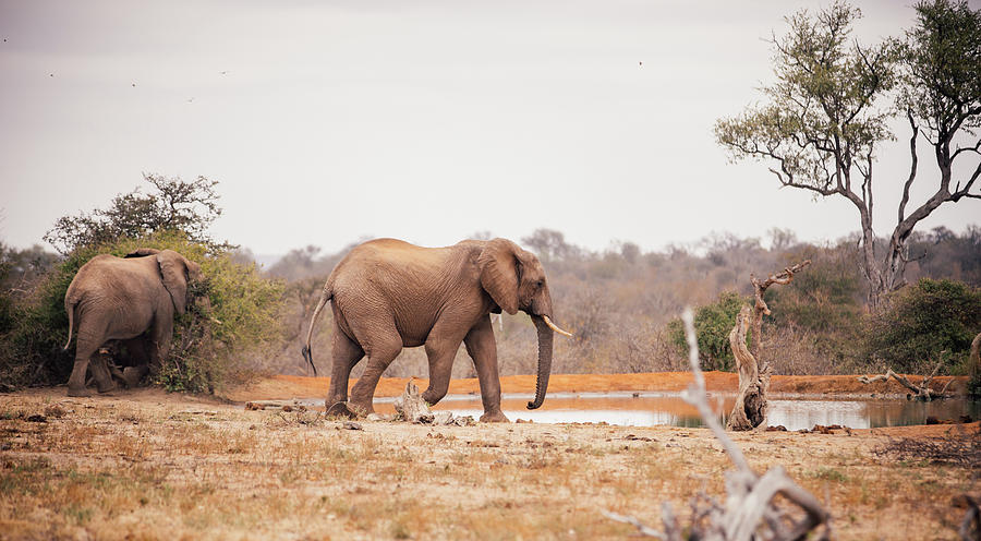 Two Large Elephants Approaching A Photograph by Wundervisuals